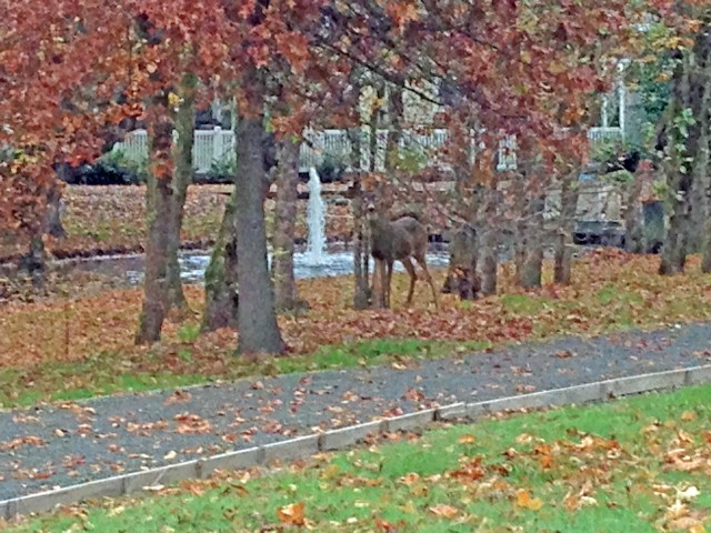 DEER at Gainsborough waterway nov 2012 lightened