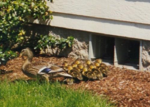 Photo 1 baby ducks