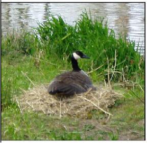 Photo 18 Female goose on nest