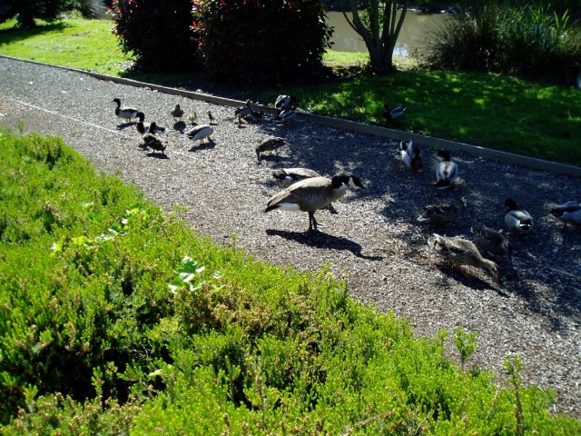 Photo 3 geese on walking trail