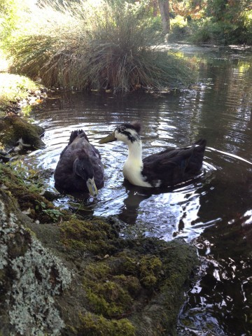 duck 1abc